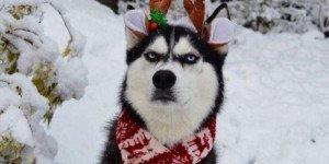 НЕжелтая собака: рождественская фотосессия угрюмого хаски Ануко стала хитом Сети (ФОТО)