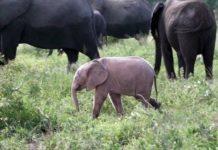 Чрезвычайно редкий розовый слоненок родился в Африке